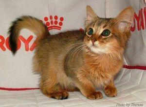 Somali-kitten-facts