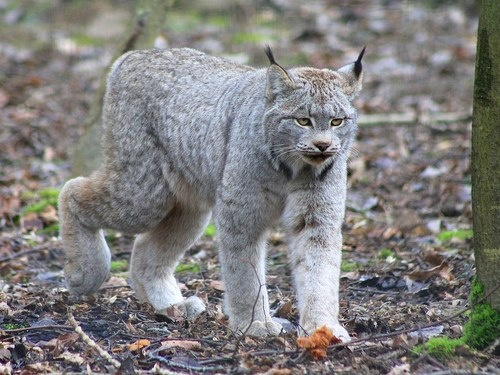 File:Lynx3=.jpg