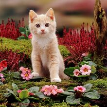 04772-Pale-ginger-kitten-with-pink-primroses