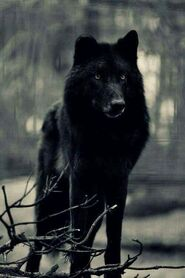 Wolf6