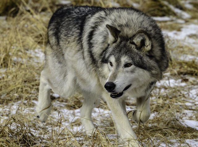 File:Grey wolf xii by white voodoo-d4s6tjy.jpg