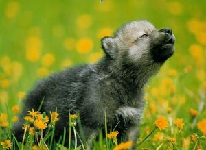 Adorable gray wolf pup howling by wolfwithwingsgal-d6gyep0