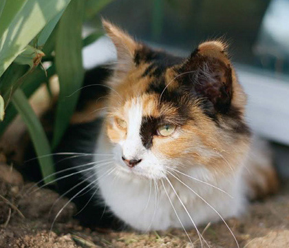 Calico Cat In Animal Jam