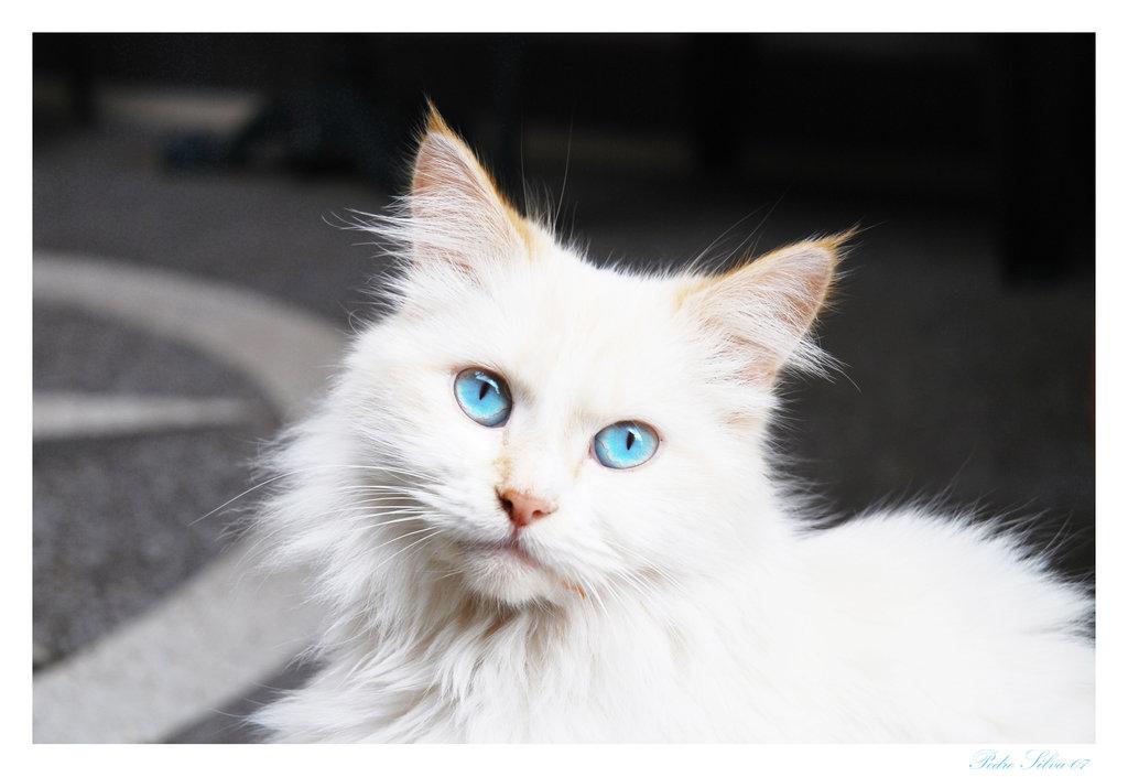 Image - White-Cat-Blue Eyes.jpg   Animal Jam Clans Wiki ...  White Cat With Dark Blue Eyes