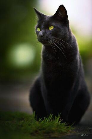 Black catty