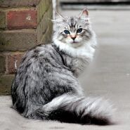 Whitish Grey Beautiful Cat