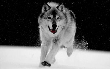 Big-Wolf-Gray-Wallpaper