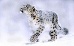 Most-Beautiful-Snow-Leopard-Wallpapers