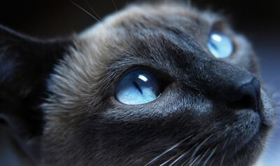 Grey-cat-with-blue-eyes-close-up-preview