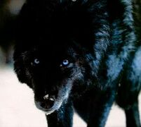 05840858970194c828e720a5b725a798--wolf-pictures-wolf-photos