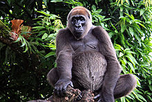 File:FileCross river gorilla.jpg