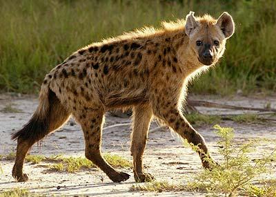 File:Spotted-Hyena.jpg