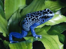 File:Poison dart frog 2.jpeg