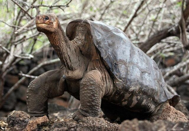 File:Animal Pinta-island-tortoise-george.jpeg