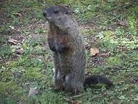 File:Groundhog.jpg
