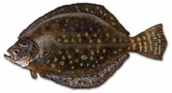 Am I The Only One Who Thinks The Ocean Sunfish Is Funny Looking The Bell Tree Animal Crossing Forums 21.000 saniyelik olive flounder stok videoyu 30fps çözünürlükle alın. the bell tree animal crossing forums