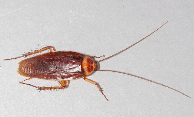 File:American-cockroach.jpg