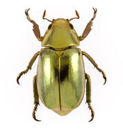 Chrysina redplendens in7089 m2909