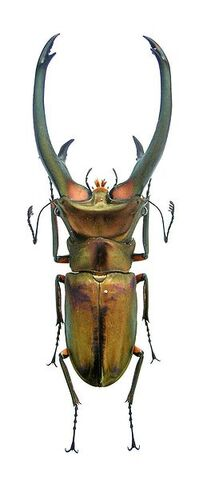 File:Cyclommatus basic.jpg