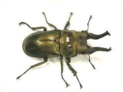Allotopus rosenbergi