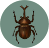 Dynastid Beetle (City Folk)
