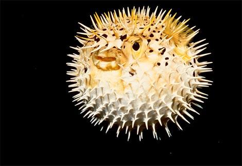File:Puffer fish.jpg