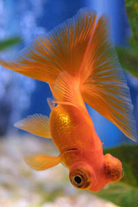 File:Popeyed goldfish orange.png