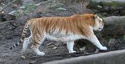 800px-Golden tiger 3 - Buffalo Zoo