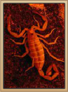 Coral Canyons Scorpion