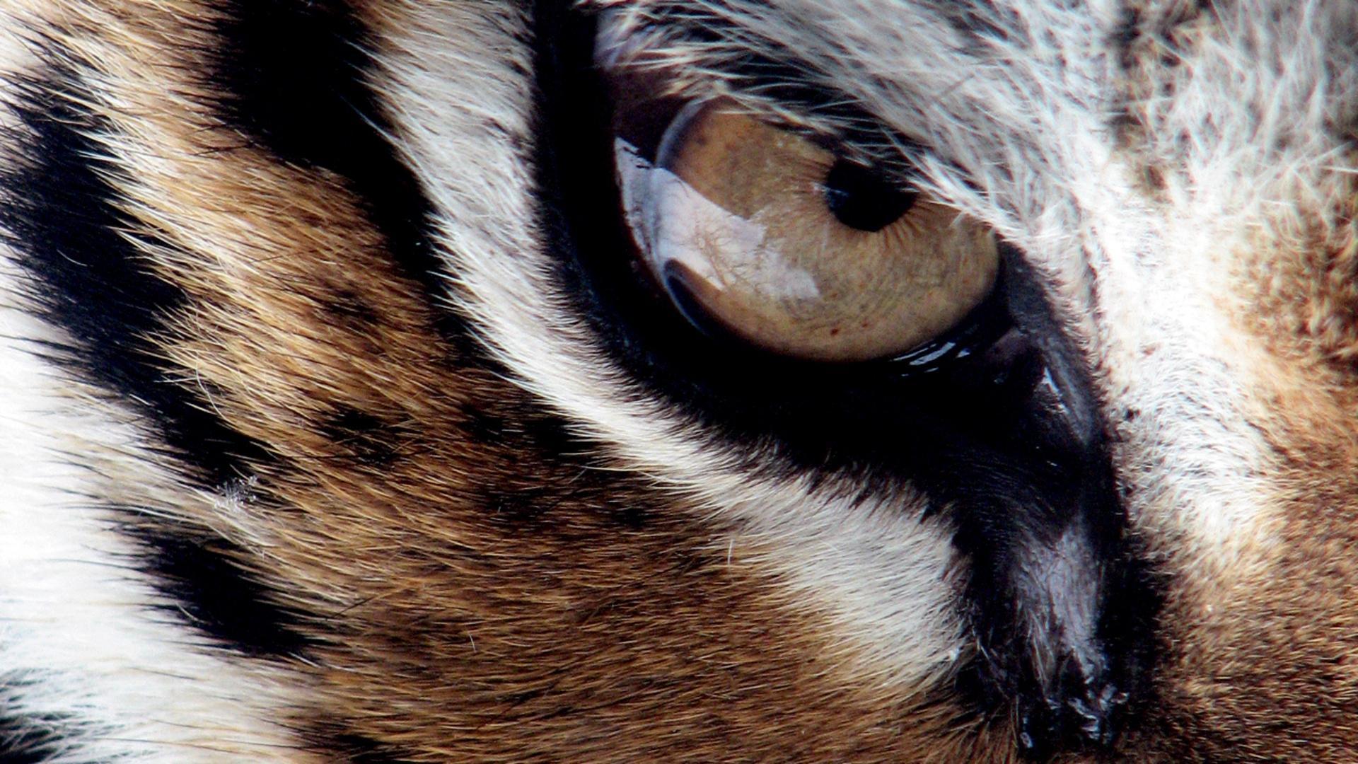 angry tiger eyes wallpaper - photo #34