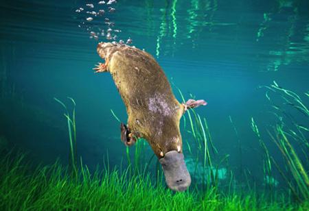File:Platypus-platypus.jpg