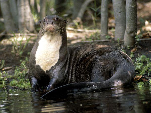 File:Giant River Otter.jpg