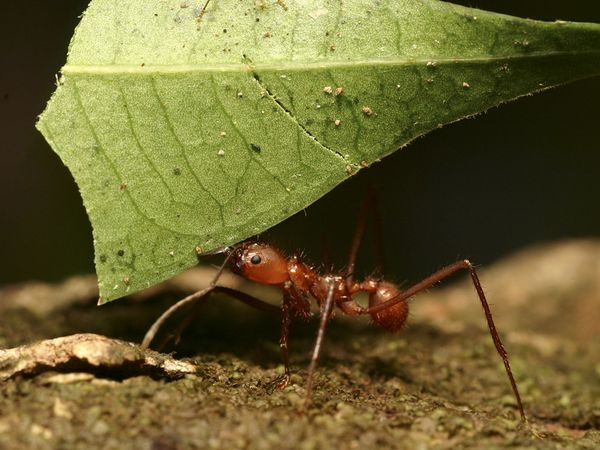 File:Leafcutter Ant Worker.jpg