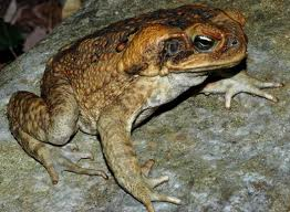 File:Cane Toad.jpg