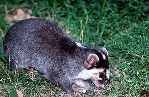 Burmese Ferret-Badger