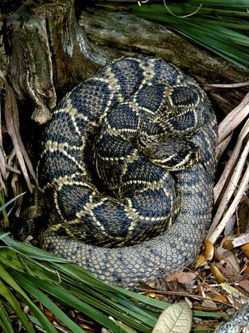 File:Eastern Diamondback Rattlesnake.jpg