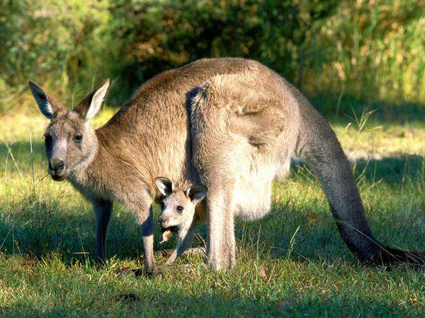 File:Eastern Gray Kangaroo.jpg