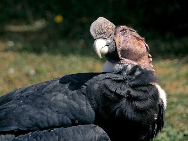 File:Andean Condor.jpg