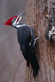 File:Ivory-Billed Woodpecker.jpg