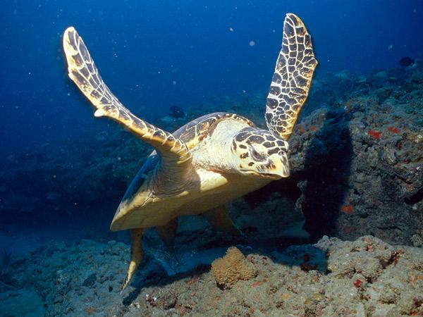 File:Hawksbill Sea Turtle.jpg