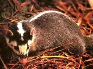 Everett's Ferret-Badger