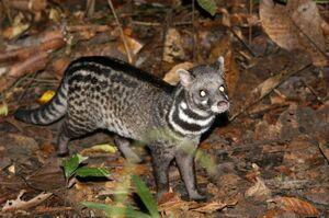 Large-Spotted Civet