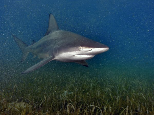 File:Blacktip Shark.jpg