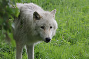 Artic Wolf 0818