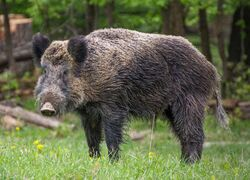 Male Central European boar (S. s. scrofa)