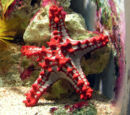 Red-knobbed Starfish