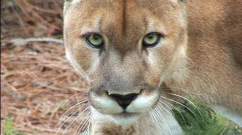 Mountain Lion Species Spotlight