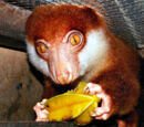 Black-spotted Cuscus