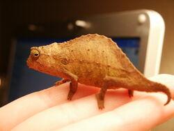 A Bearded Pygmy Chameleon