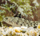 Bigmouth Goby